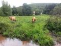 vaches-au-pre2-jpg