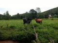 vaches-au-pre3-jpg